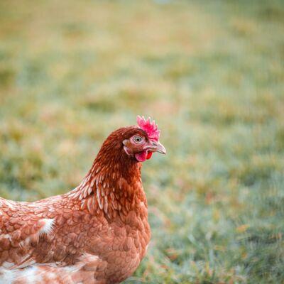 grippe aviaire.jpg