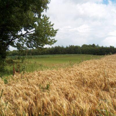 Champs de blé et forêt