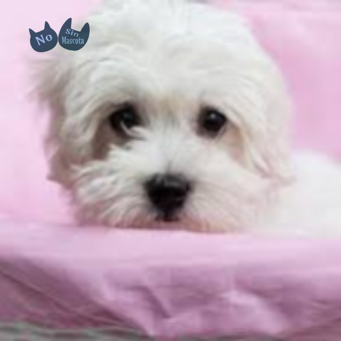 BICHON PET1.jfif