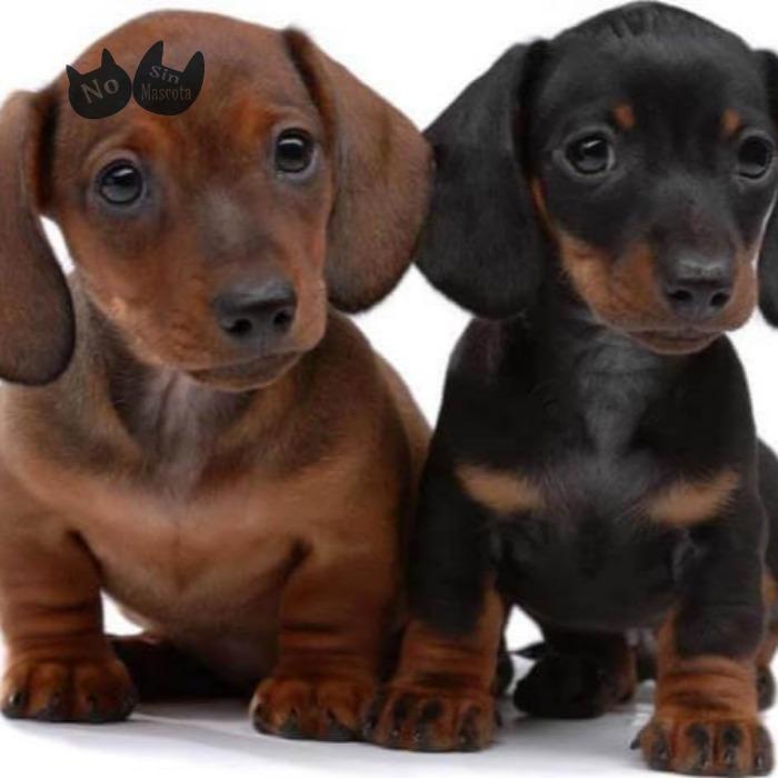 cachorros-teckel.jpg