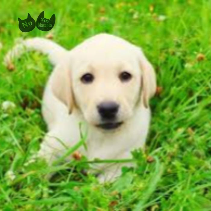 Labradores2.jpg