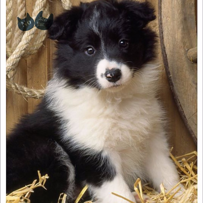 Photograph_ Border Collie Dog - puppy.jpeg
