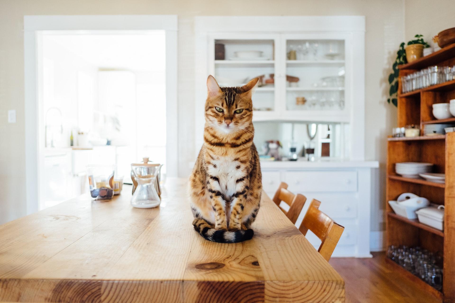 chat boulimique