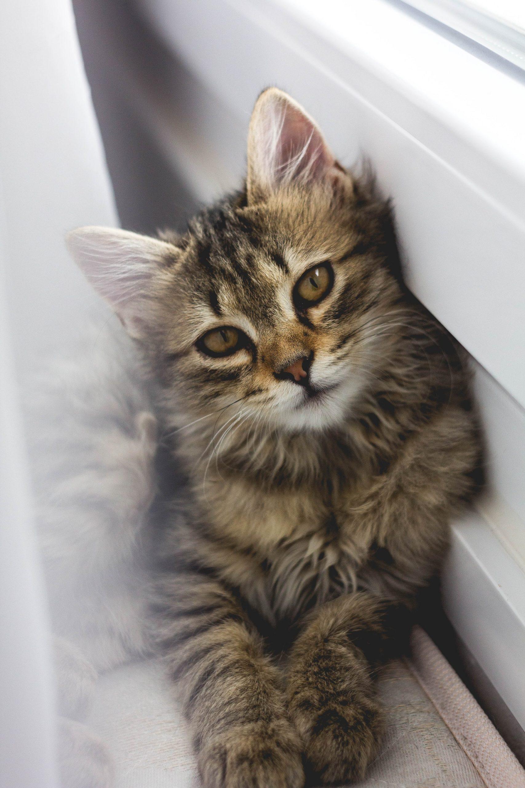 que mange un chat norvegien