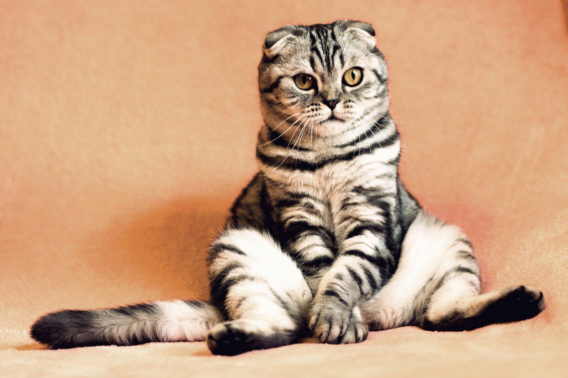 chat-surpoids