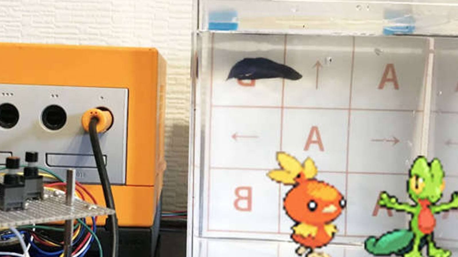 système poisson combattant pokémon rubis mutekimaru_ch
