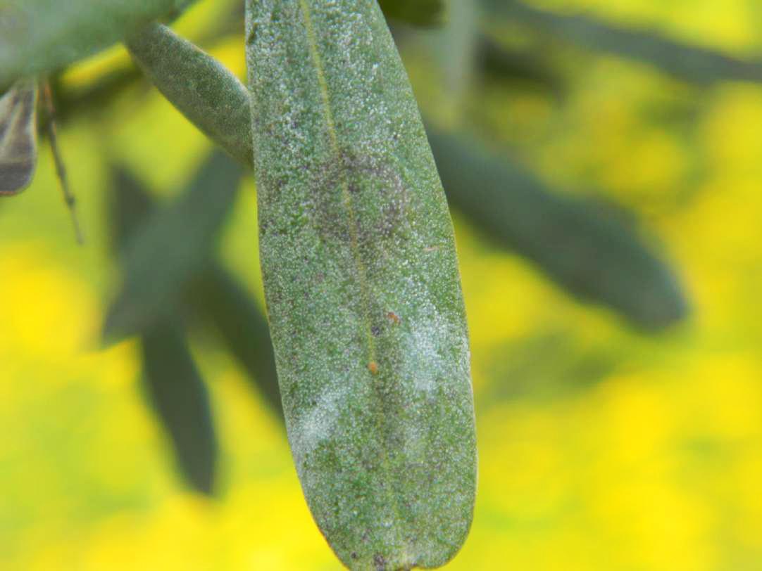 https://info.agrimag.it/dettaglio-fitopatologie/3827/spilocaea-oleaginea/occhio-di-pavone-o-cicloconio-spilocaea-oleaginea