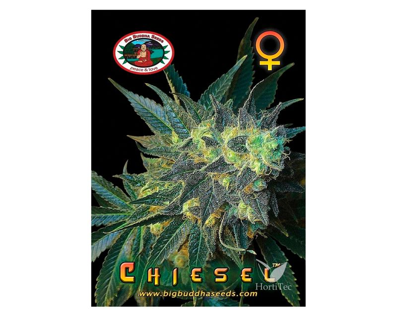 310838-chiesel-big-buddah-seeds.jpg