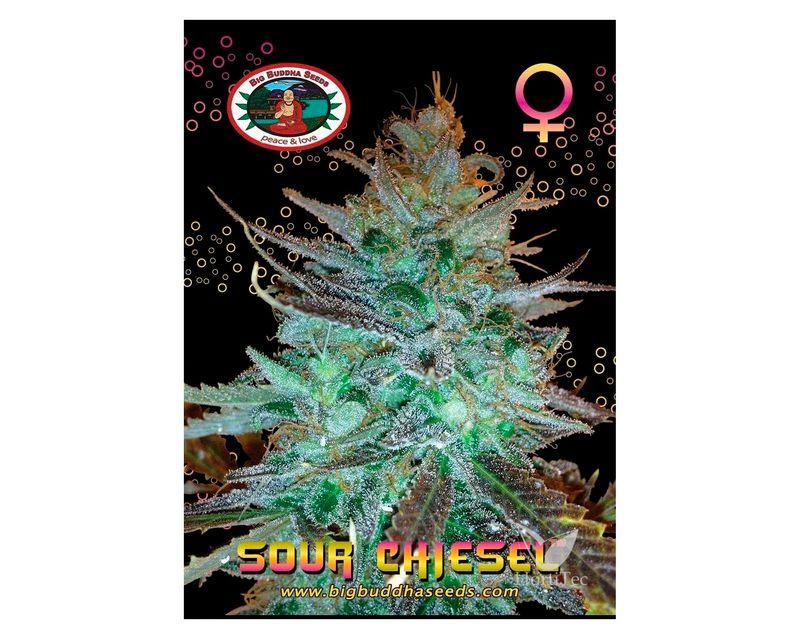 310864-sour-chiesel-big-buddha-seeds.jpg