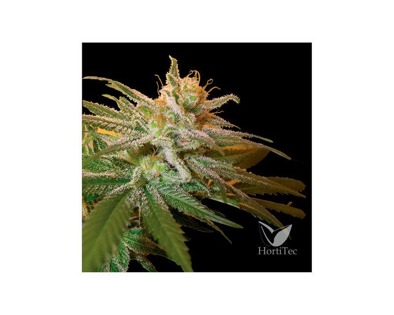 322175-dna-genetics-kushberry-1.jpg