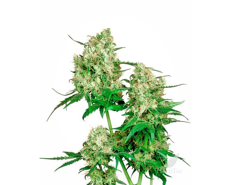 361022-maple leaf indica.jpeg