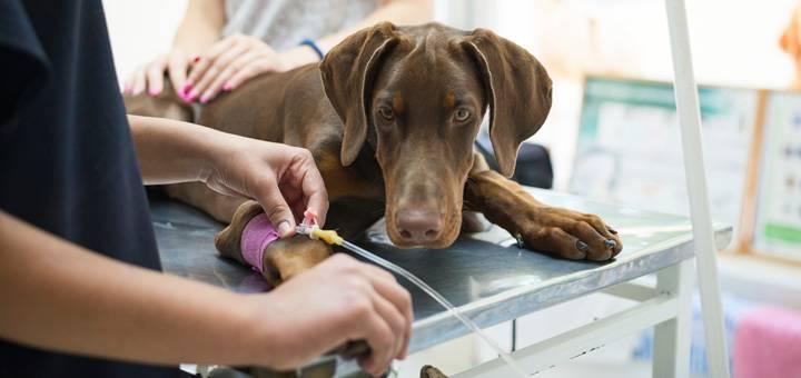 La Trombocitopenia en los perros: ¿en qué consiste?