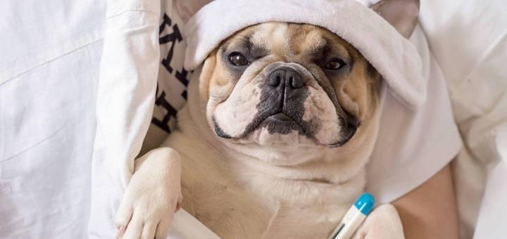 Fiebre en perros: Síntomas, causas y remedios