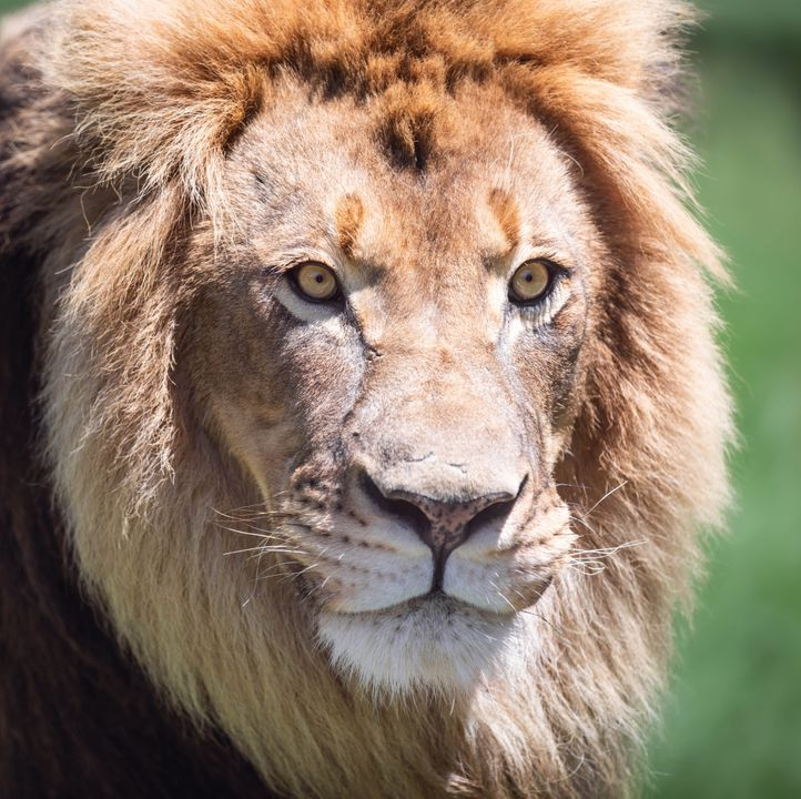 Een troep leeuwen