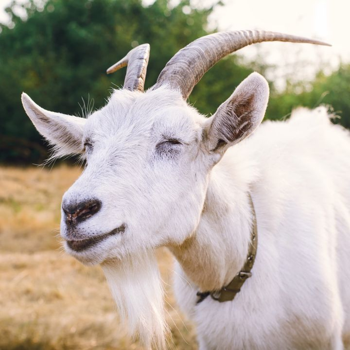 Een kudde geiten