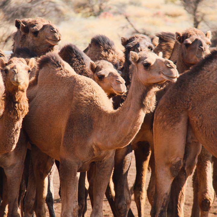 Meeste wilde kamelen ter wereld