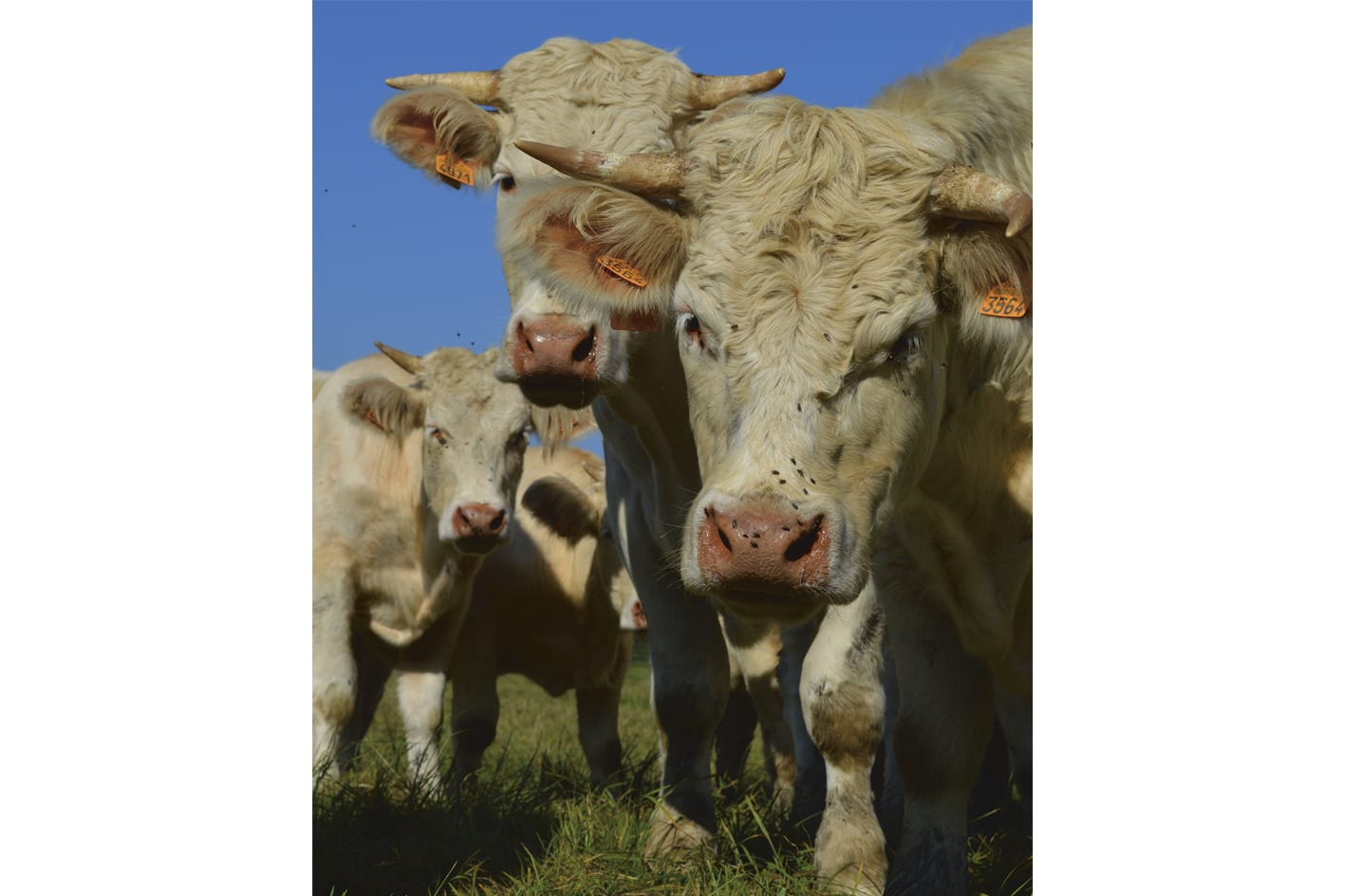 vaches-patrick-welde-antidote-web