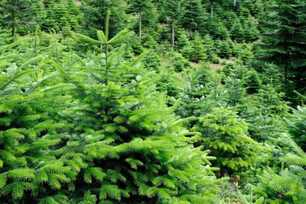 Sortez vos sapins de Noël pour le ramassage des déchets