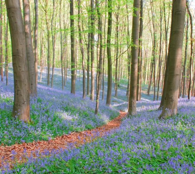 When a blue carpet spreads across the Hallerbos
