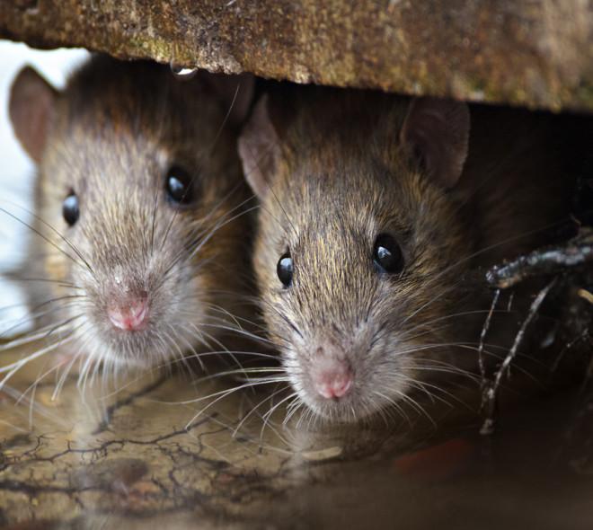 Comment éviter les rats dans nos habitations?