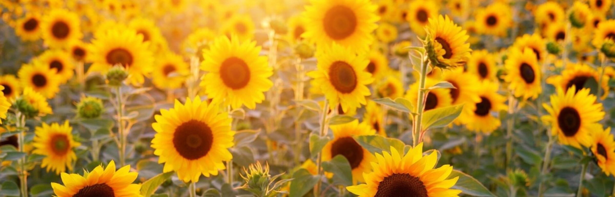 Banner Gaertnerei Sunflower s.à r.l.