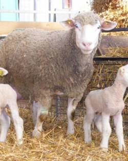 Fête de la volaille et de l'agneau
