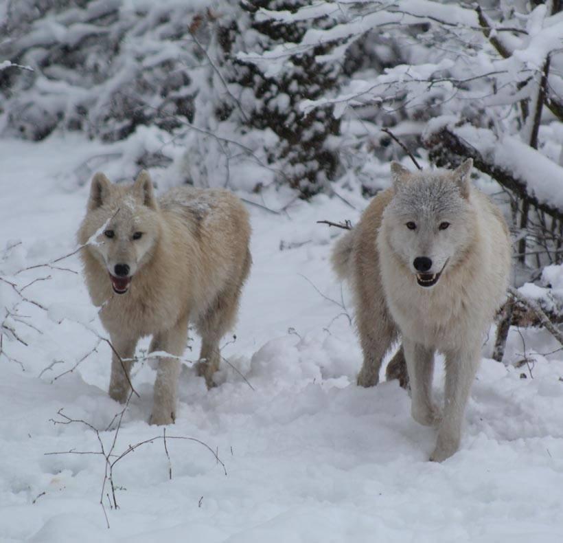 PAD_loups_arctiques_Amande_Yéti_neige---©-Sophie-BETTIG.jpg