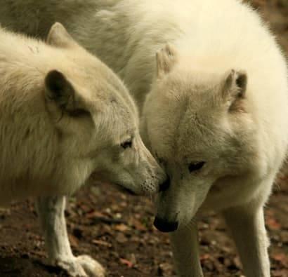 PAD_Saint-Valentin_amour_Hiver_loup_arctique_couple_410x395.jpg