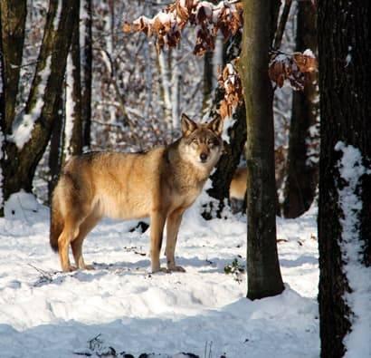 Parc_Argonne_Decouverte_sortie_scolaire_loups_hiver_neige_410x395.jpg