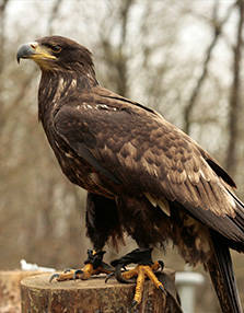 PAD_oiseaux_mosaique_vautour_aigle.jpg
