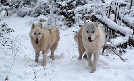 PAD_loups_mosaique_arctiques_neige.jpg