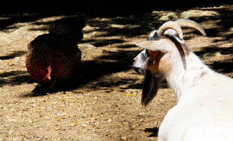 PAD_mini_ferme_pedagogique_poule+chevre.jpg