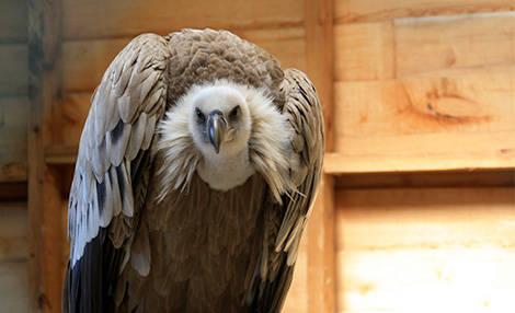 PAD_oiseaux_mosaique_vautour_voliere.jpg
