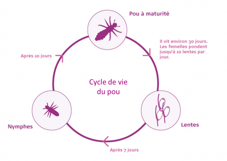 cycle_de_vie_poux