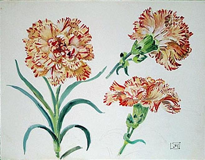 Etude de fleurs d'oeillet panaché [titre attribué]_0