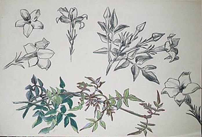 Plante grimpante à fleurs blanches : jasmin (étude) [titre attribué]_0