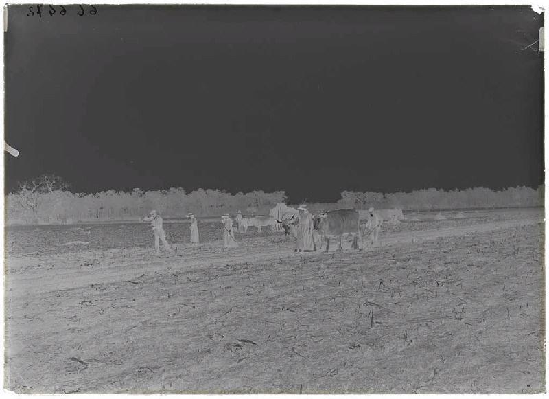 ARNAUDIN Félix (photographe) : Labours et semailles à Calhoun (Sabres).
