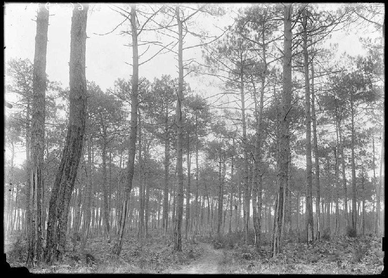 Pins de Castaignède, chemin du Parc - Bruze (Commensacq) (Titre attribué)
