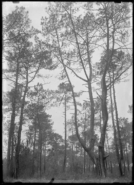 Deux vieux pins - Pichourrents (Commensacq) (Titre attribué)_0