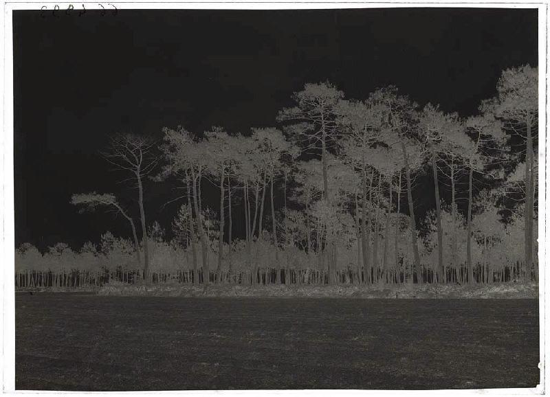 Grands vieux pins - Baxentes (Lüe) (Titre attribué)