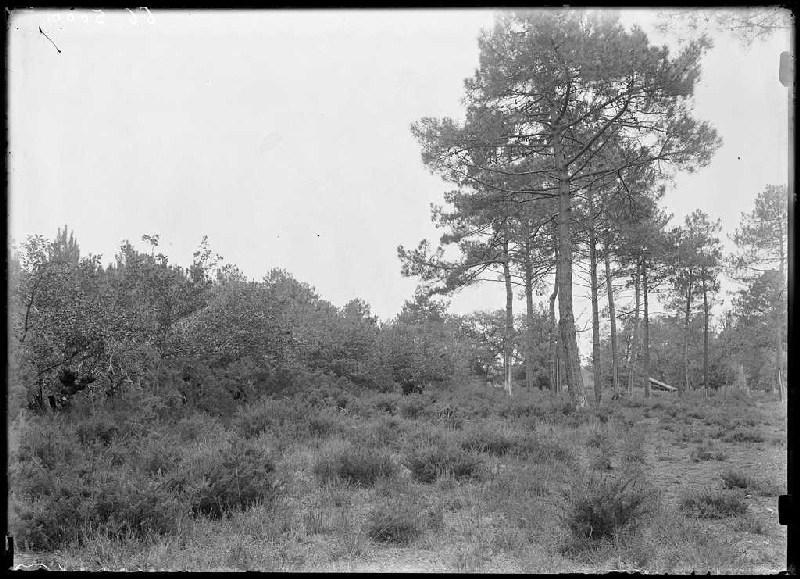 ARNAUDIN Félix : Ancien campot des Liones et 'Lous Pins dou journ dous morts' - Courgeyre du Pariot (Labouheyre) (Titre attribué)