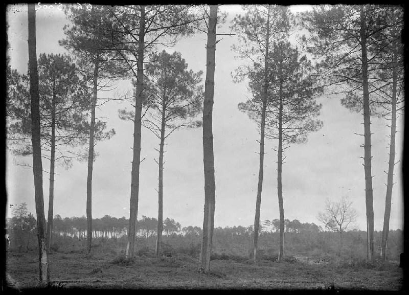 ARNAUDIN Félix : Pins Maur Bacon - Labouheyre (Landes) (Titre attribué)