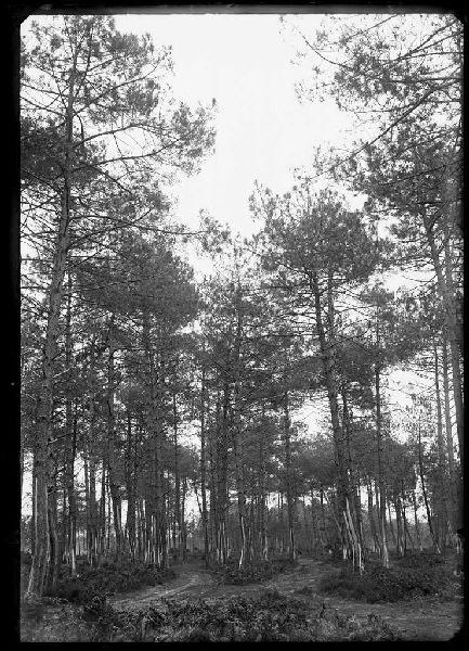 Pins - Le Mariné (Labouheyre) (Titre attribué)_0