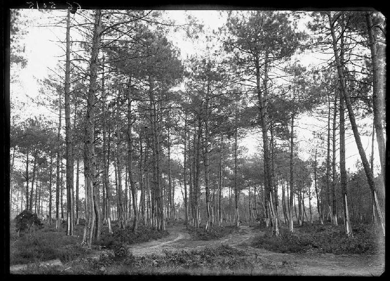 ARNAUDIN Félix : Pins - Le Mariné (Labouheyre) (Titre attribué)