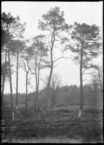 Pins du Marcs - Trensacq (Landes) (Titre attribué)