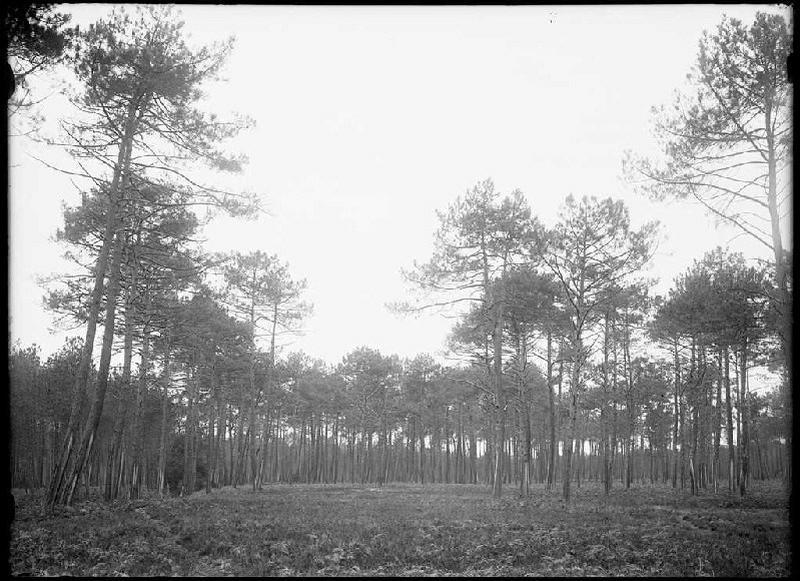 Pins de Lilère - Lilère (Lüe) (Titre attribué)