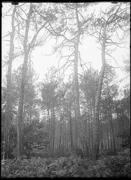 Grands pins doubles - Lilère (Lüe) (Titre attribué)_0
