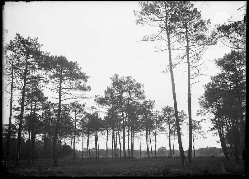 ARNAUDIN Félix : Pins de Lilère et champ de Cantore - Lilère (Lüe) (Titre attribué)