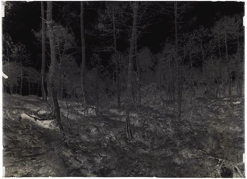 Pin déraciné au Nord de la Vignole - Cantore (Lüe) (Titre attribué)