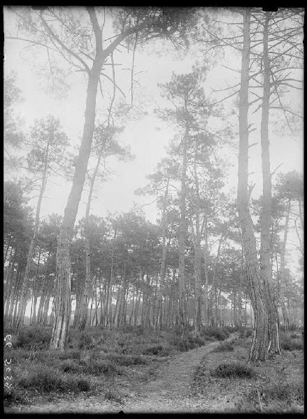 Vieux pins de Grué - Grué (Lüe) (Titre attribué)_0